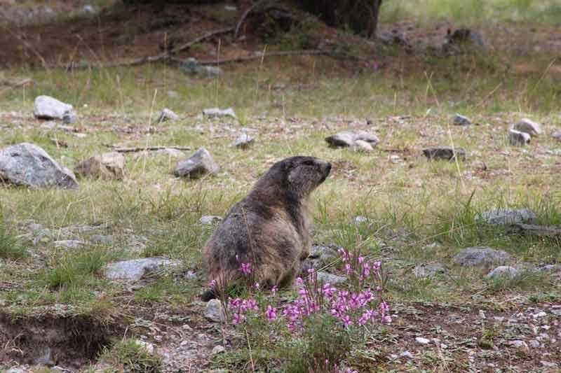 Marmotte du Pré de Madame Carle